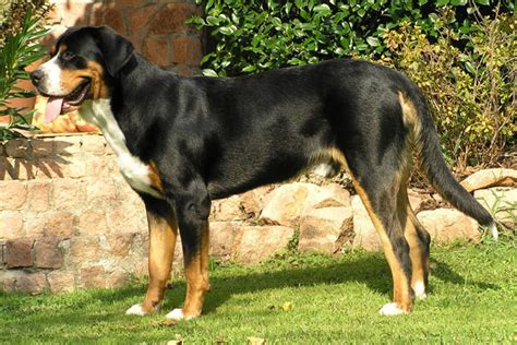 Do Swiss Mountain Dogs Shed by Greater Swiss Mountain Puppies For Sale From Reputable