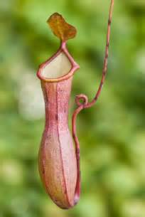 information about the pitcher plant with amazing pictures