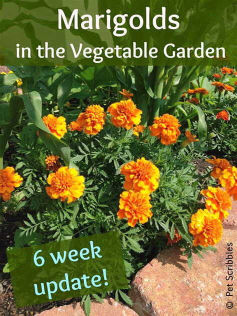 marigolds in the vegetable garden yes live creatively