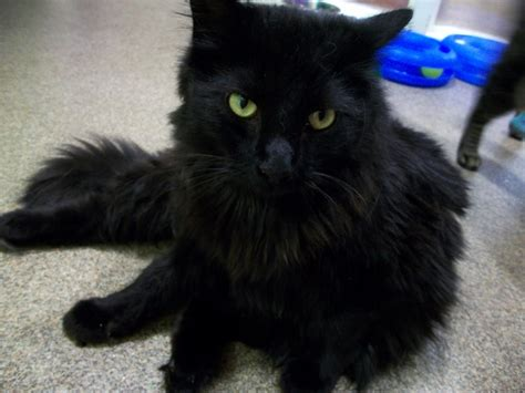 black fluffy fluffy black cat with www imgkid the image kid has it