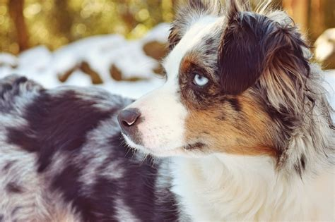 mini aussie puppies oregon mini australian shepherd puppies eugene oregon 4k wallpapers