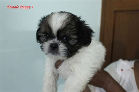 shih tzu for sale in bangalore shih tzu puppies for sale sanchanna 1 15375 dogs for sale price of puppies