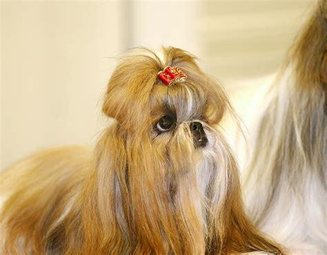 shih tzu puppy supplies shih tzu puppies dogtime