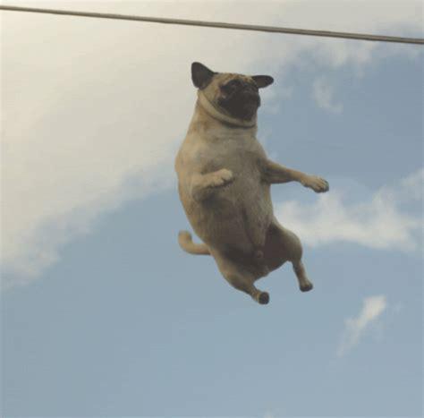 gif pug pug animated gif