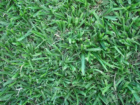 what is couch grass kikuyu grass couch grass buffalo grass turf varieties