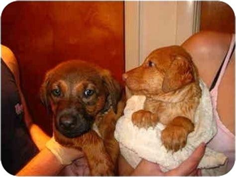 golden retriever chesapeake bay retriever mix megan adopted puppy sparta nj golden retriever chesapeake bay retriever mix