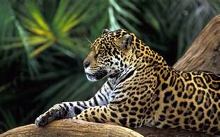 Does A Jaguar Live In The Rainforest Picture Of Tiger Free Wallpaper World