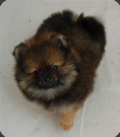 bi mar pomeranians dogs on newfoundland dogs pomeranians and teacup pomeranian