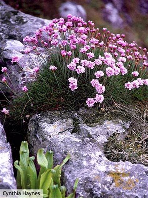 304 Best Rock Gardens Ground Covers Images On Pinterest Rock Garden Plants Sun