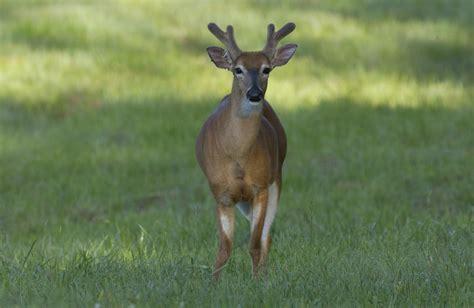 white tailed deer shed their velvet krcu