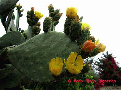 fiori di ficodindia infuso con i fiori di fichidindia per combattere calcoli e
