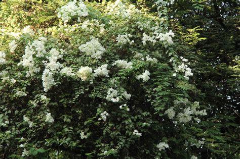 cespugli sempreverdi fioriti alberi e arbusti fioriti giardini in viaggio