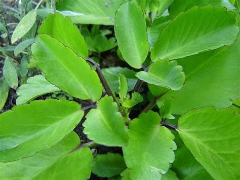 makalah tentang tanaman cocor bebek tanaman hias kaya