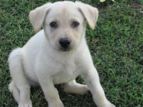 german shepherd puppies tulsa dogs breed german shepherd labrador retriever mix gender age
