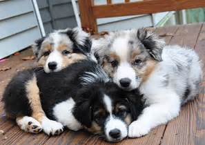 71 most cute australian shepherd puppies pictures and photos