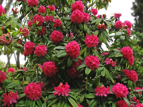 rhododendron arboreum tree rhododendron world of flowering plants