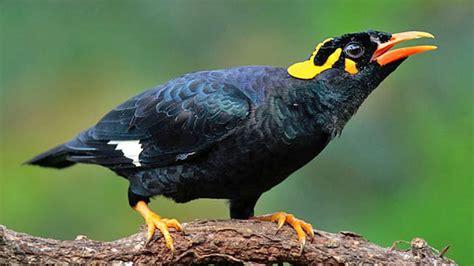 image gallery myna bird