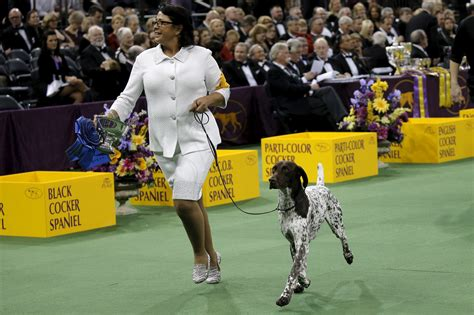 westminster show 2016 winner german shorthaired pointer wins best in show westminster show 2016 results