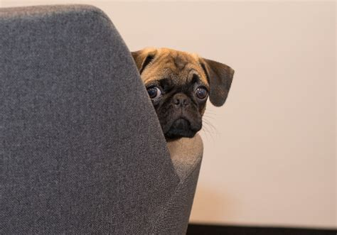 pug separation anxiety separation anxiety in your an owner s guide