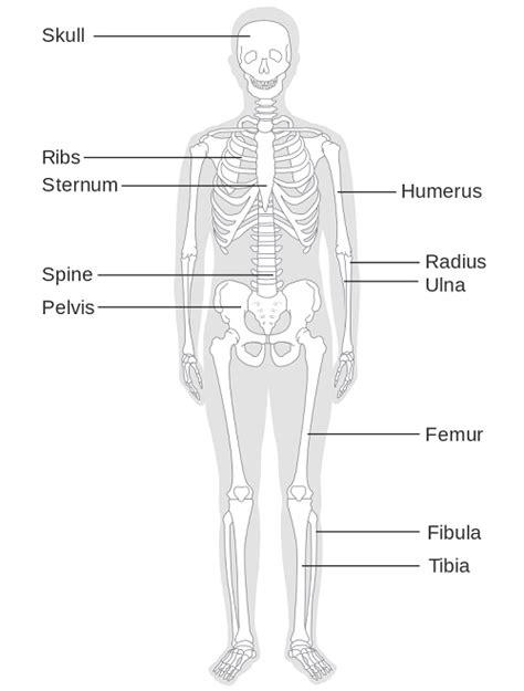 skeletal diagram skeletal system definition applecool info