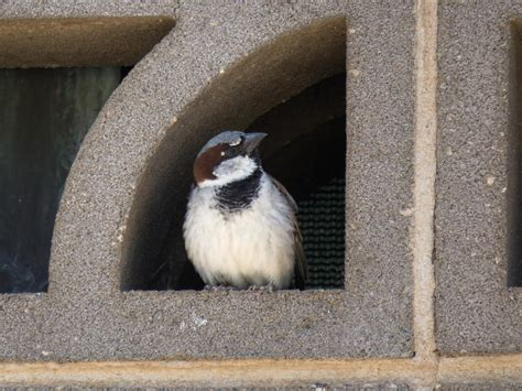 warming temperatures may cause birds to shrink house sparrow image eurekalert science news