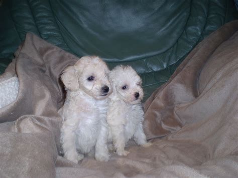 miniature poodle puppies for sale miniature poodle puppies for sale boston lincolnshire pets4homes