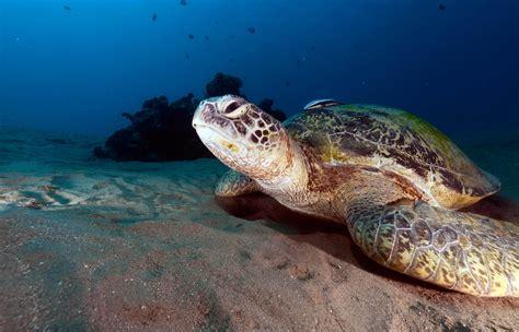 imagenes de tortugas blancas tortuga verde chelonia mydas fundaci 243 n cram