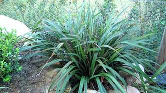 tasred 174 is a tough reliable dianella strappy leaf
