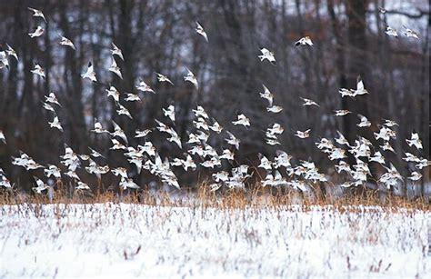 snowbird season an irruption of boreal songbirds all