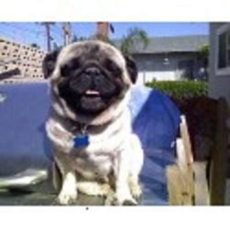 california pug breeders pug breeders in california freedoglistings