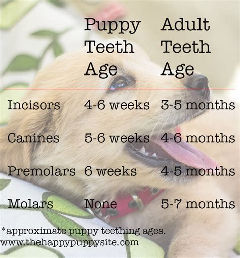 puppy teeth chart puppy teeth and teething what to expect the happy puppy site
