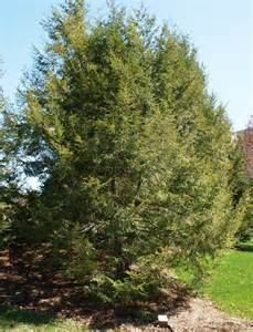 hemlock archives affordable trees