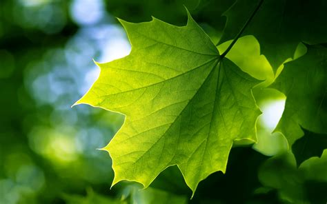 green leaf wallpapers hd wallpapers id