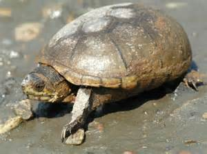 eastern mud turtle facts distribution adaptations pictures