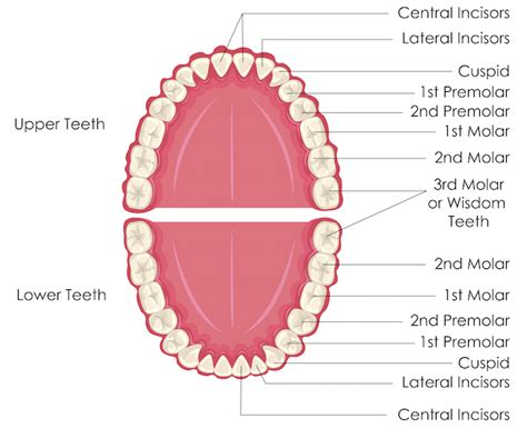 diagram of a tooth to label image gallery lower teeth diagram