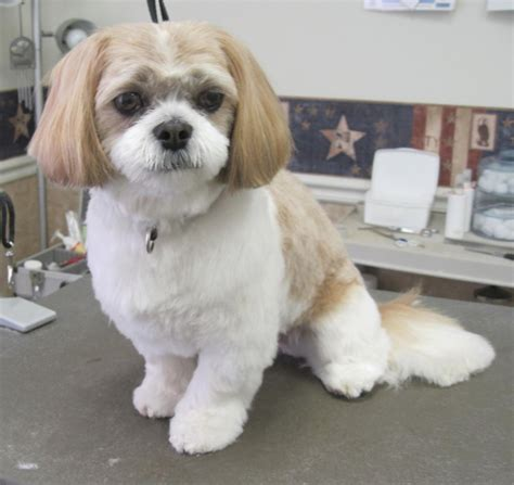 shih tzu haircuts before and after photos shih tzu poodle hairstyles fade haircut
