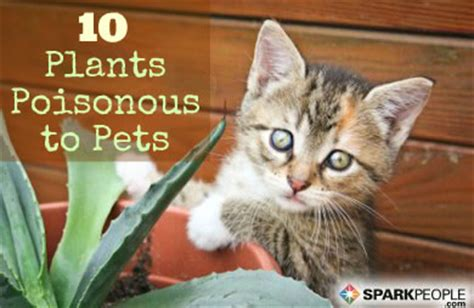 common house plants that are poisonous to cats 10 common house plants that are poisonous to pets
