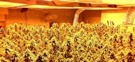 increase cannabis yields grow weed easy