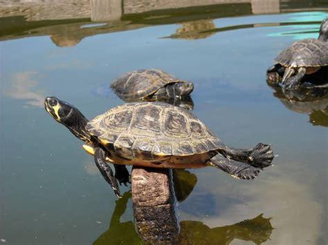 vasche per tartarughe d acqua dolce prodotti per tartarughe d acqua gli accessori indispensabili
