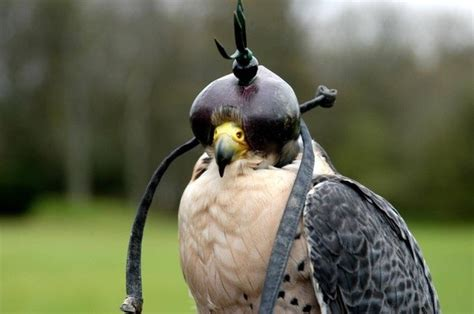 why do people keep pet falcon birds eye tied quora
