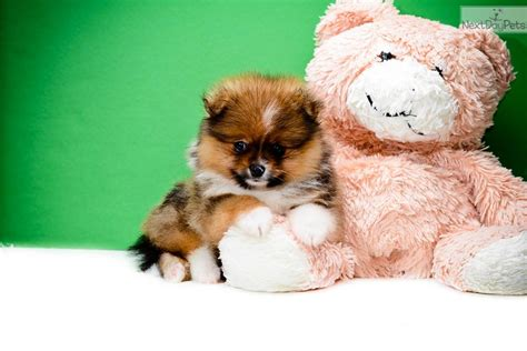 teacup puppies for sale in pa teacup pomeranian puppies for sale in pa breeds picture
