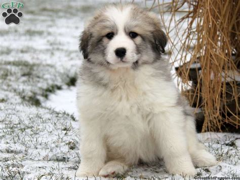 great pyrenees puppies for sale in pa melba great pyrenees mix puppy for sale from paradise pa misc