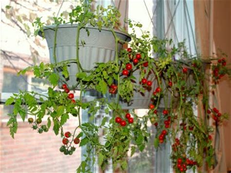 indoor tomato garden hanging indoor cherry tomato garden 455 hostelgarden net