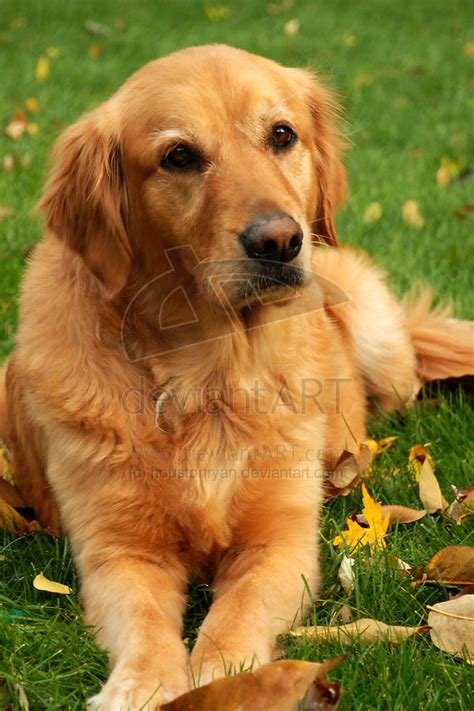golden retriever best golden retriever