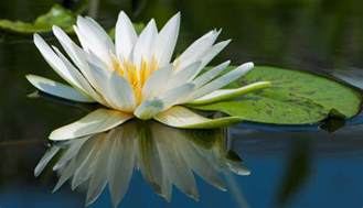 Stylized Lily Flower - water lily