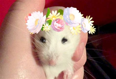 turns  hamsters  snapchat filters