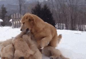 golden retriever patronus golden puppies and gif cos