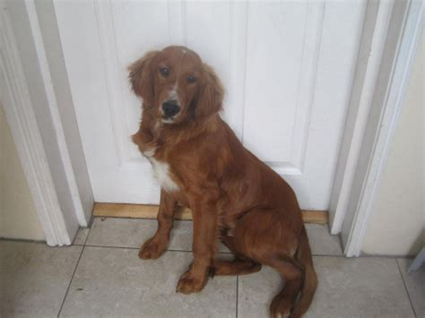 setter cross dog rescue sammie 7 month old male red setter dog for adoption