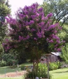 35 purple crepe myrtle lagerstroemia flowering shrub bush