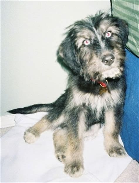husky poodle mix puppies for sale image gallery siberpoo